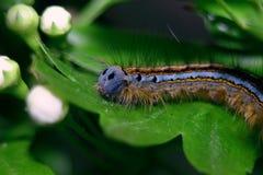 Kosmaty Caterpillar Obraz Royalty Free