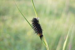 Kosmaty Caterpillar ćma na trawie Zdjęcia Royalty Free