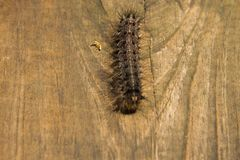 Kosmaty Cygański ćma Caterpillar sławny jako Lymantria fotografia stock