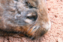 kosmaty ostrożnie wprowadzać południowy wombat Zdjęcia Stock