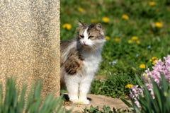 Kosmaty popielaty i biały domowy kot ciekawie patrzeje nad rodzina domu kątem przy coś ciekawić otaczam z uncut trawą zdjęcia stock