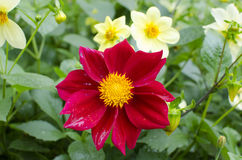 Kosmeia kwiat Obraz Stock