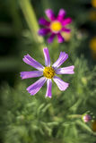 Kosmey, fleurs de cosmos images libres de droits