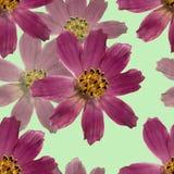 Kosmeya Безшовная текстура картины отжатых сухих цветков стоковое изображение