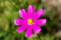 Kosmeya floreciente Foto de archivo libre de regalías