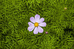 Kosmeya lilás macio Foto de Stock