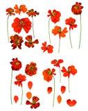 Kosmeya pressé sec, fleurs sensibles de cosmos et pétales d'isolement photographie stock libre de droits