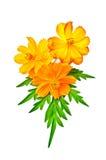 Kosmeya yellow and orange with leaf Stock Images