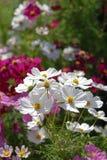 Kosmosów biały Kwiaty Obraz Royalty Free