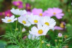 Kosmosów kwiatów ogród Fotografia Royalty Free