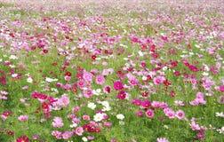 Kosmosów kwiatów pola Fotografia Stock