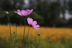 Kosmosów kwiatów pole Zdjęcia Royalty Free