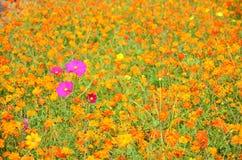 Kosmosów kwiatów pole przy wsią Nakornratchasrima Tajlandia Obrazy Royalty Free