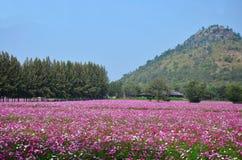 Kosmosów kwiatów pole przy wsią Nakornratchasrima Tajlandia Fotografia Stock
