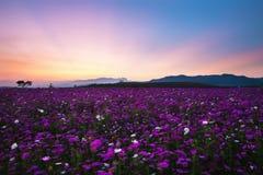 kosmosów kwiatów pole przy zmierzchem Obraz Stock