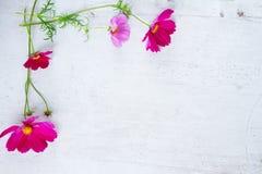 Kosmosów kwiatów rama Obraz Stock