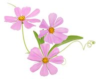 kosmosów kwiaty Fotografia Royalty Free
