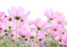 Kosmosów kwiaty zdjęcie stock