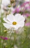 Kosmosów kwiaty Zdjęcie Royalty Free