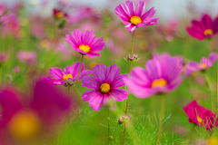 Kosmosów kwiaty Zdjęcia Royalty Free