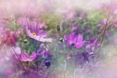 Kosmosów kwiaty Obraz Stock