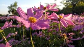 Kosmosów kwiaty Obrazy Stock