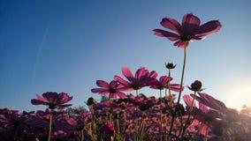 Kosmosów kwiaty obraz royalty free
