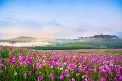 Kosmosów kwiaty obszar trawiasty Obrazy Stock