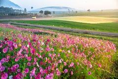 Kosmosów kwiaty obszar trawiasty zdjęcia stock