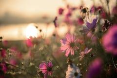 Kosmosów kwiaty obszar trawiasty Obraz Royalty Free