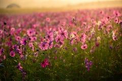 Kosmosów kwiaty obszar trawiasty Fotografia Stock