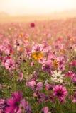 Kosmosów kwiaty obszar trawiasty fotografia royalty free