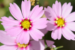 kosmosów piękni kwiaty Obrazy Royalty Free