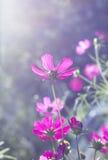 Kosmosów różowi kwiaty obraz royalty free