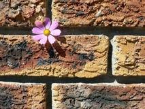 Kosmos auf Backsteinmauer Stockbilder