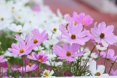 Kosmos bipinnatus Blume im Garten Lizenzfreie Stockfotografie