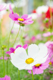 Kosmos blüht im Park, schöne Blumen im Garten, Co Stockbild