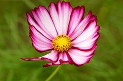 Kosmos-Blüte Stockbild