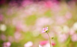 Kosmos Bloemenachtergronden Royalty-vrije Stock Foto