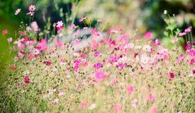 Kosmos Bloemenachtergronden Royalty-vrije Stock Afbeelding