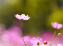Kosmos Bloemenachtergronden Royalty-vrije Stock Afbeeldingen