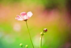 Kosmos Bloemenachtergronden Royalty-vrije Stock Foto's