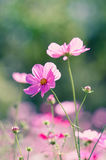 Kosmos Bloemenachtergronden Stock Fotografie