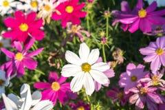 Kosmos in bloemtuin met ochtendzonlicht Stock Afbeelding