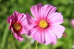 Kosmos blommar för bakgrund Royaltyfria Foton