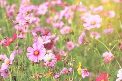 Kosmos blommar, i att blomma Royaltyfria Foton