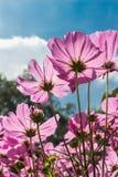 Kosmos blommar, i att blomma med solnedgång Fotografering för Bildbyråer
