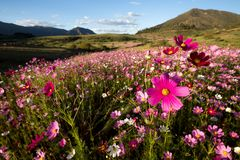 Kosmos blommar i bergen Royaltyfri Foto