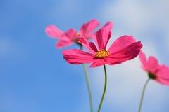 Kosmos blommar i rött Royaltyfri Fotografi