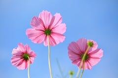 Kosmos blommar i rosa färger Arkivfoto